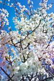 Fotografie Cherry blossoms against the blue sky