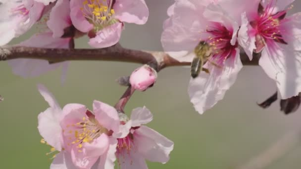 A slow-motion bee collects honey and pollinates delicate pink almond or sakura or cherry blossoms