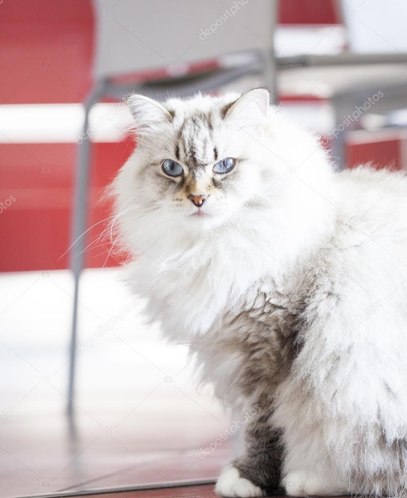 Piękne Długie Włosy Kot Neva Masquerade Zdjęcie Stockowe