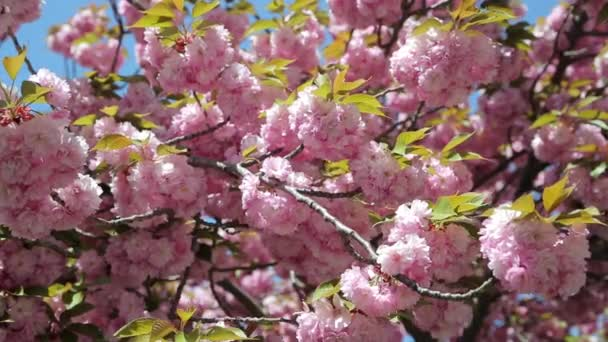 Cherry blossom flowers in garden