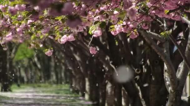 Cherry blossom flowers falling in garden