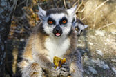 Photo Ring-tailed lemur (lemur catta) and cute cup, madagascar