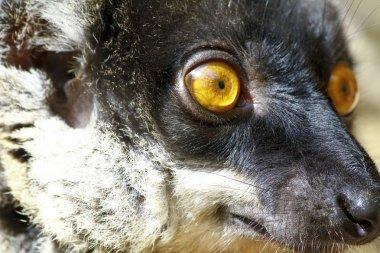 Brown Lemur (Eulemur fulvus fulvus), madagascar
