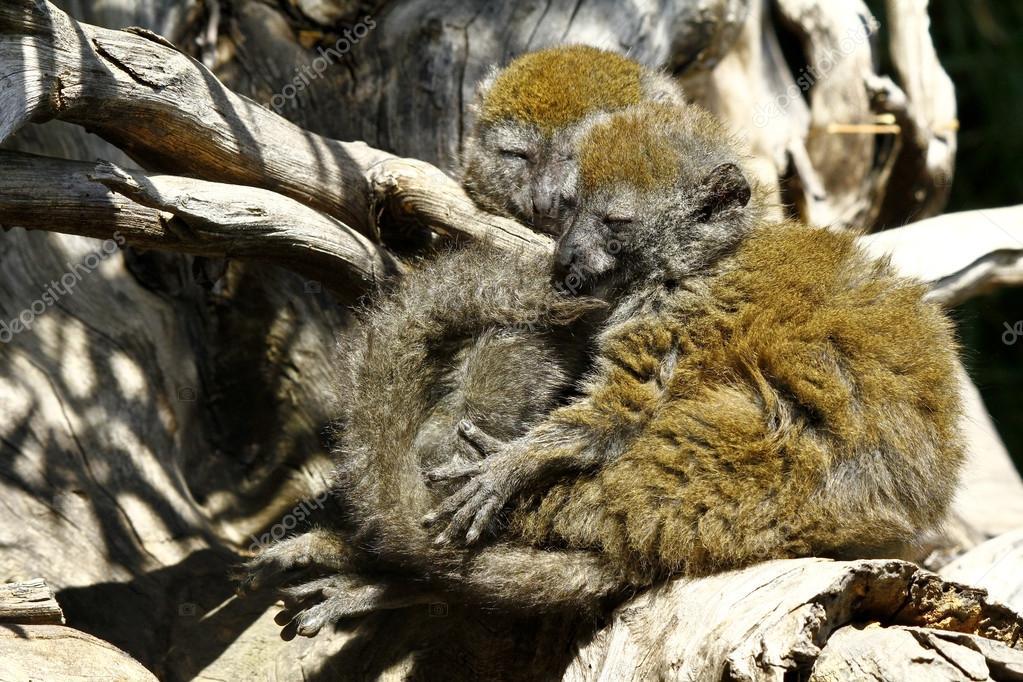 Eastern lesser bamboo lemur (Hapalemur griseus), also known as t