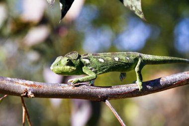 Carpet Chameleon (Furcifer lateralis) - Rare Madagascar Endemic