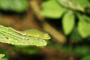 Short-nosed Chameleon (Calumma gastrotaenia) - Rare Madagascar E