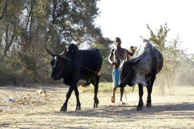 Poor malagasy boy leading angry bulls - zebu, madagascar