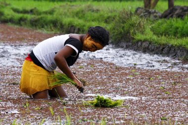Woman planting rice into the paddy fields of Madagascar