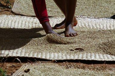 Rice drying at sun in madagascar