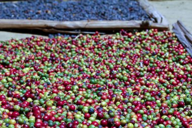 Traditional coffee drying after harvest, Madagascar