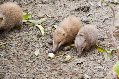 Lesser Hedgehog Tenrec , Echinops telfairi, it is endemic to Mad