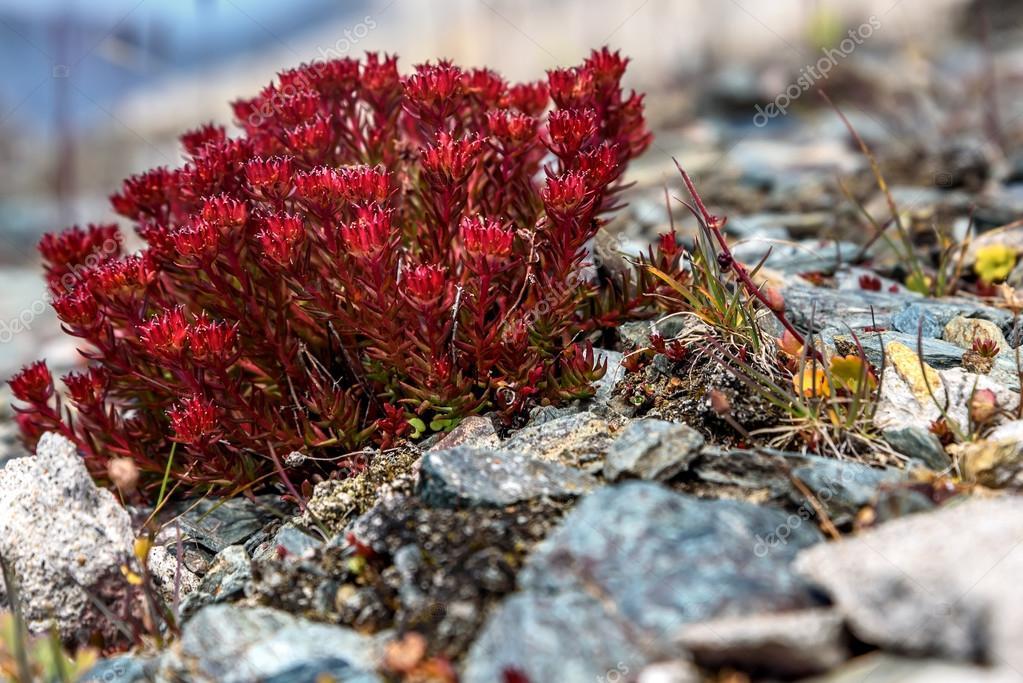 flowers Rhodiola rosea roseroot mountains
