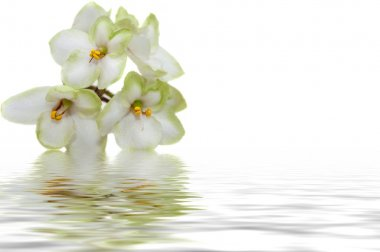 white flowers of violet water reflection