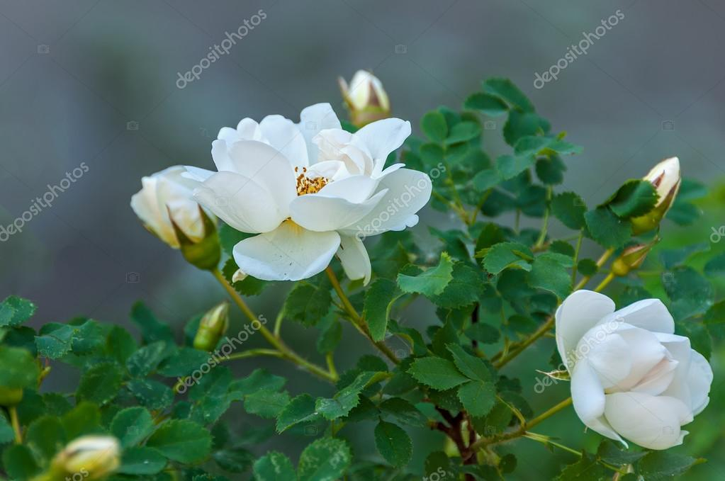 Rose white flower bush stock photo irisha 58685707 delicate flowers of white roses on the branches of a bush on the blurry background in sunny day photo by irisha mightylinksfo
