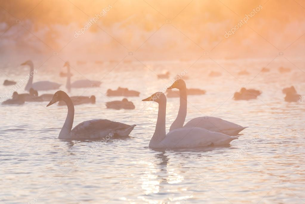 swans lake fog winter sunset
