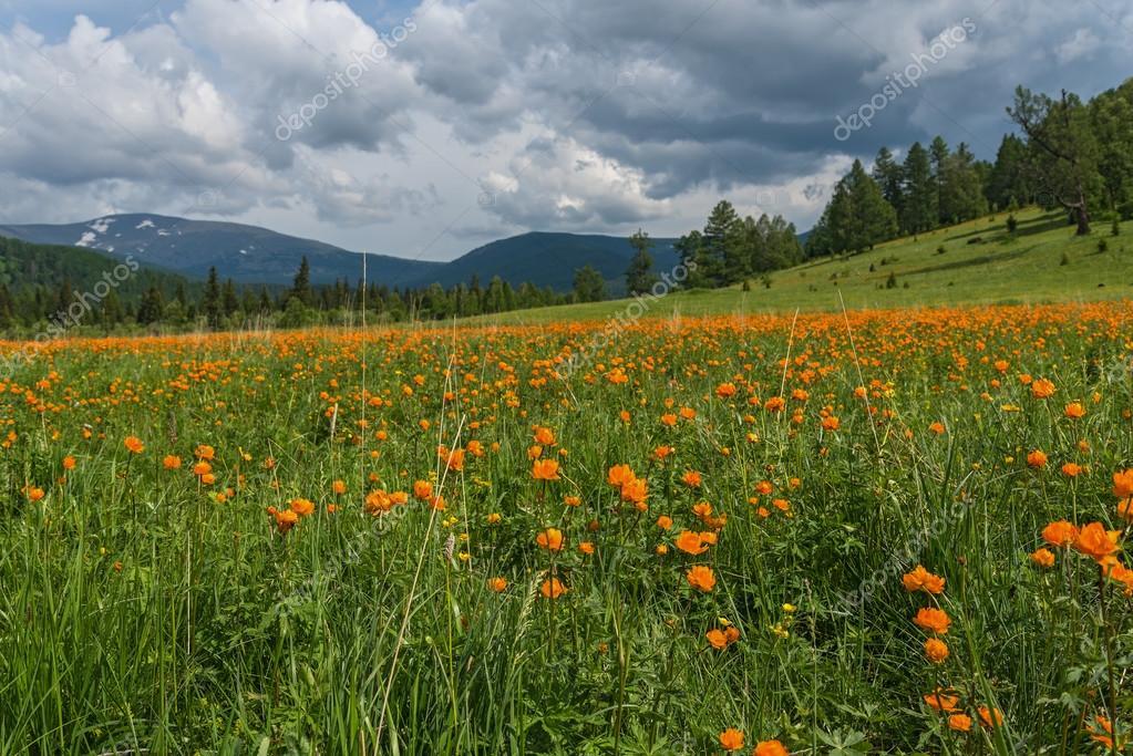 Montagne di prato di fiori d\'arancio — Foto Stock © Iri_sha #75934131