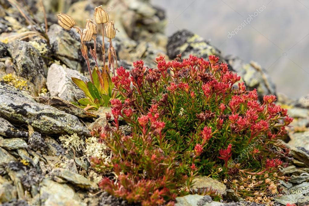flower Rhodiola rosea roseroot mountains