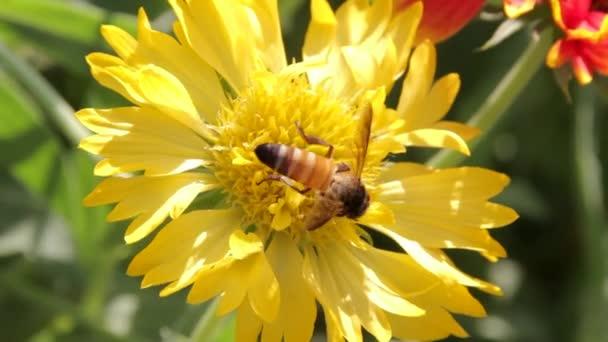 Méhek gyűjteni nektárt a virágok