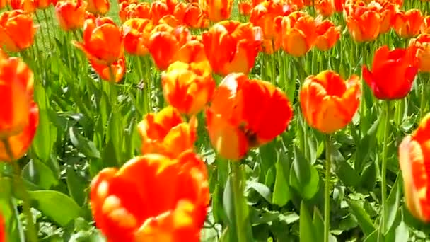 Tulips on a Sunny day in the Park.Slow motion