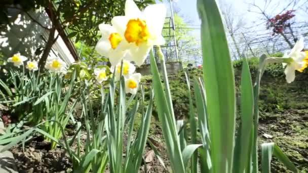 Narcisy, rostoucích v zahradě