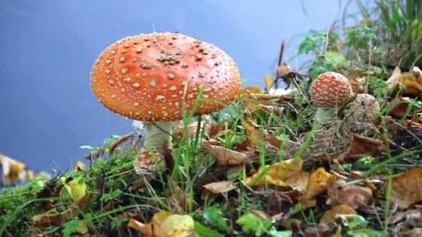 Červené houby v trávě poblíž řeky