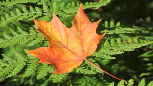 Yellow maple leaf on the fern