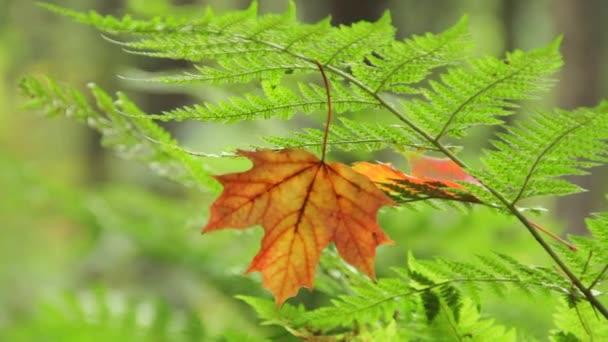 Yellow maple leaf on the fern