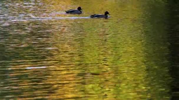 Kachny koupat v rybníku v podzimní Park