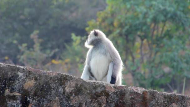 Opice v indickém městě