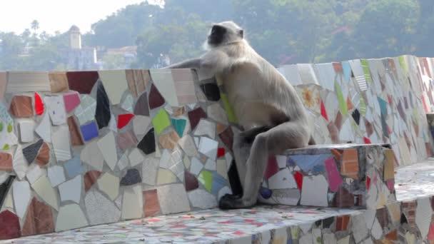 Langur-Affe in indischer Stadt