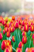 Kvetoucí jarní květiny tulipány na slunci