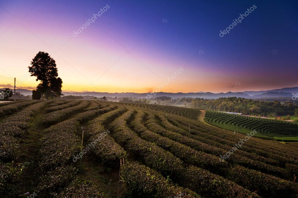 Sunset view of tea plantation landscape at Chiang rai, Thailand.