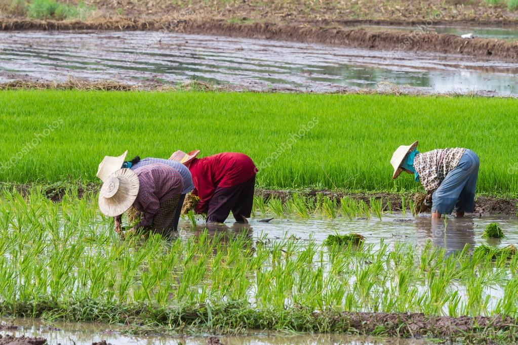 Farmers transplant rice seedlings in the paddy