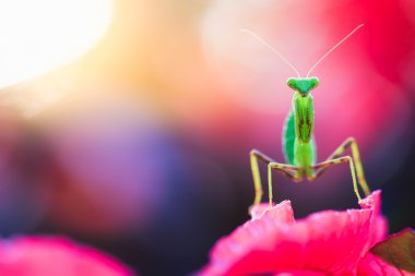 mantis macro, close up
