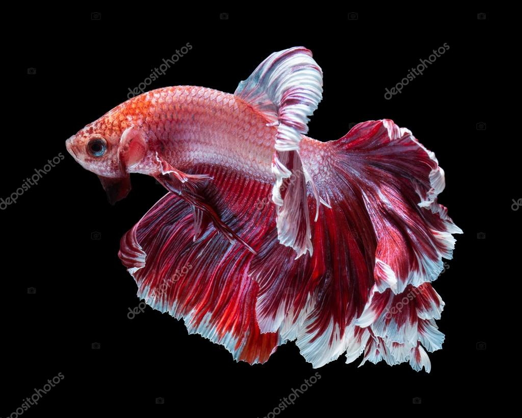Betta fish, siamese fighting fish — Stock Photo © AEyZRiO #93951766