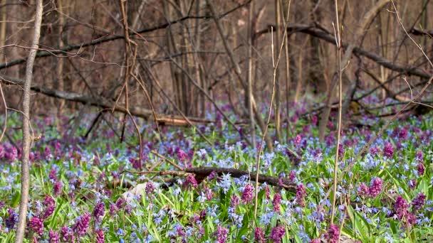 Kvetoucí bifolia Scilla nebo dvoulístek squill a Corydalis cava ve větvích divokých lesních stromů. Slunečné jarní květiny se vzdávají větru. Podrobnosti o přírodě se selektivním zaostřením