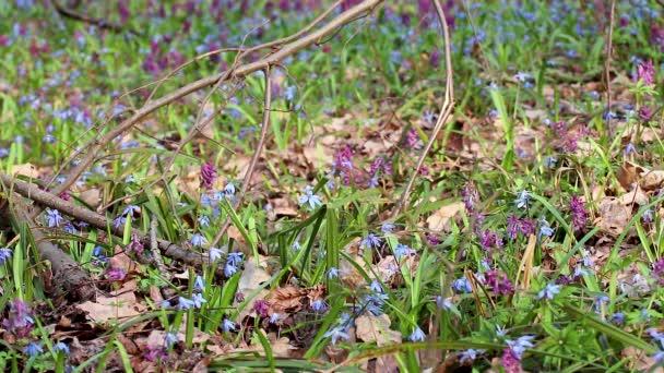 Kvetoucí Scilla bifolia nebo dvoulístek squill a Corydalis cava v divokém lese. Slunečné jarní květiny se vzdávají větru. Podrobnosti o přírodě se selektivním zaostřením