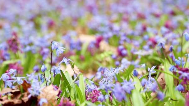 Kvetoucí Scilla bifolia, alpský squill nebo dvoulístek squill a Corydalis cava close-up smyčka. Slunečné jarní květiny se vzdávají větru. Podrobnosti o přírodě se selektivním zaostřením