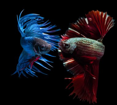 beautiful siamese fighting fish on black