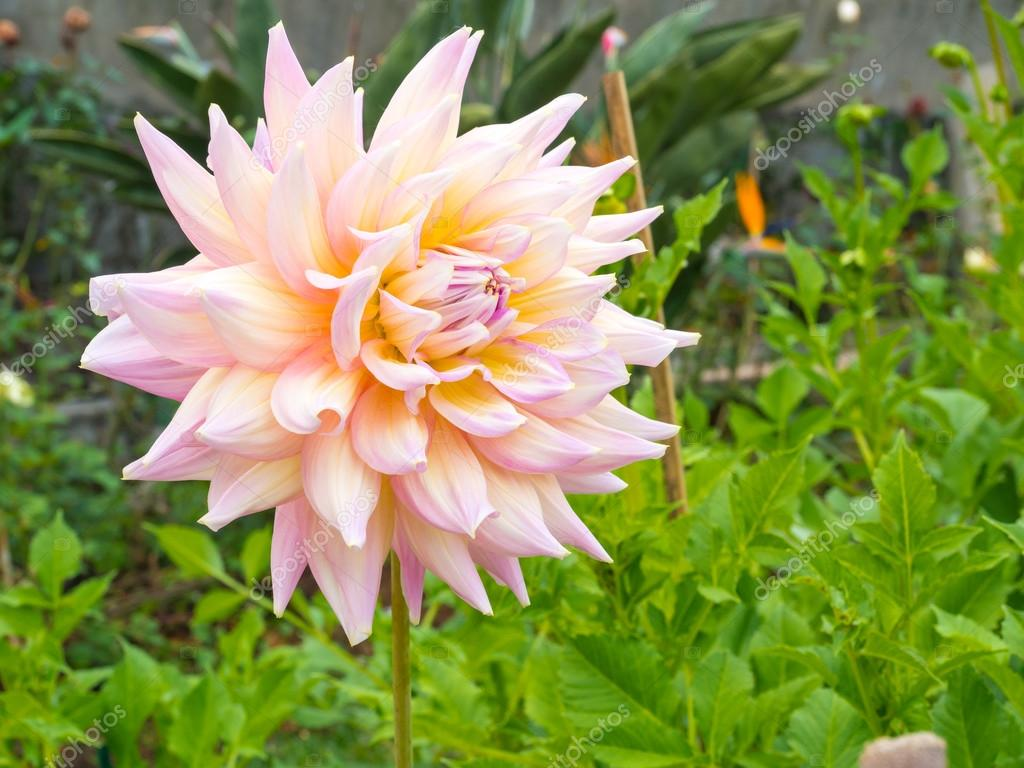Beautiful dahlia flower and green leaves stock photo missisya beautiful dahlia flower and green leaves on the outdoor garden photo by missisya izmirmasajfo