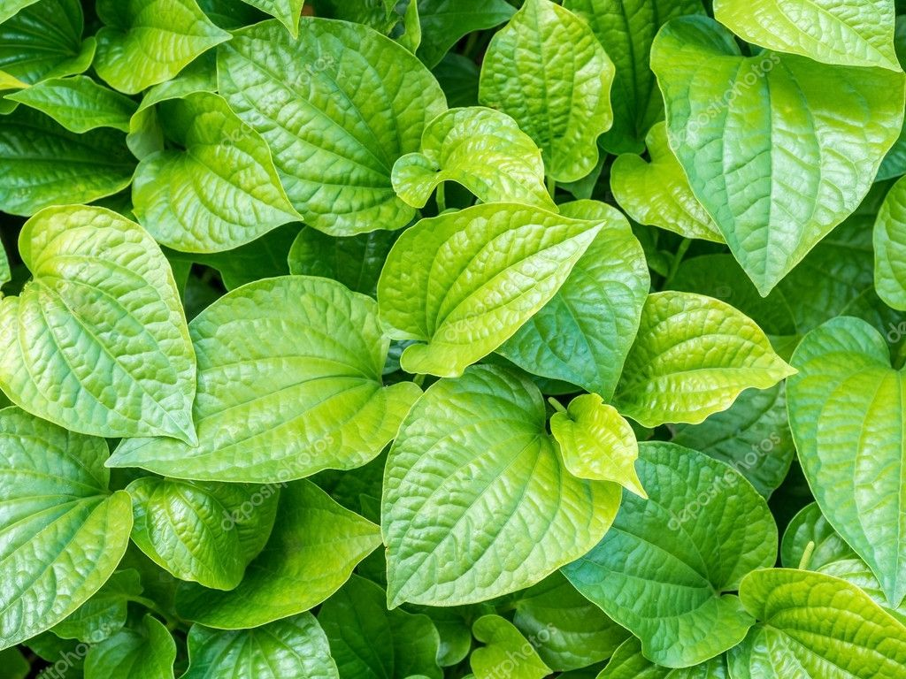 Vegetables and herbs, medicinal substance in it leaves
