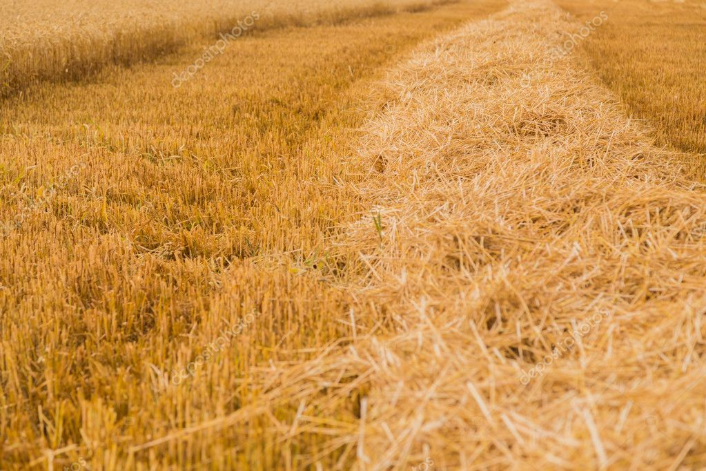 Beautiful Landscape photo wheat field before the harvest