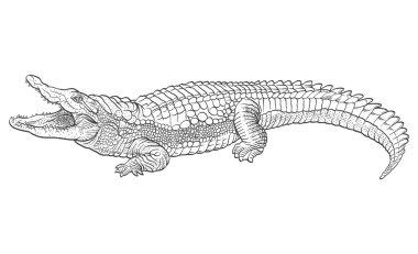 Hand drawn crocodile. Vector illustration