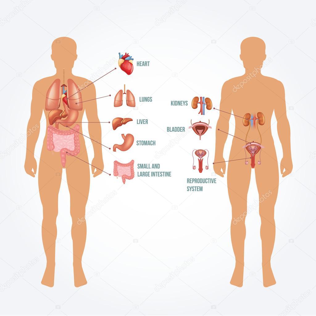 Vektor-Mensch-Anatomie-illustration — Stockvektor © prettyvectors ...