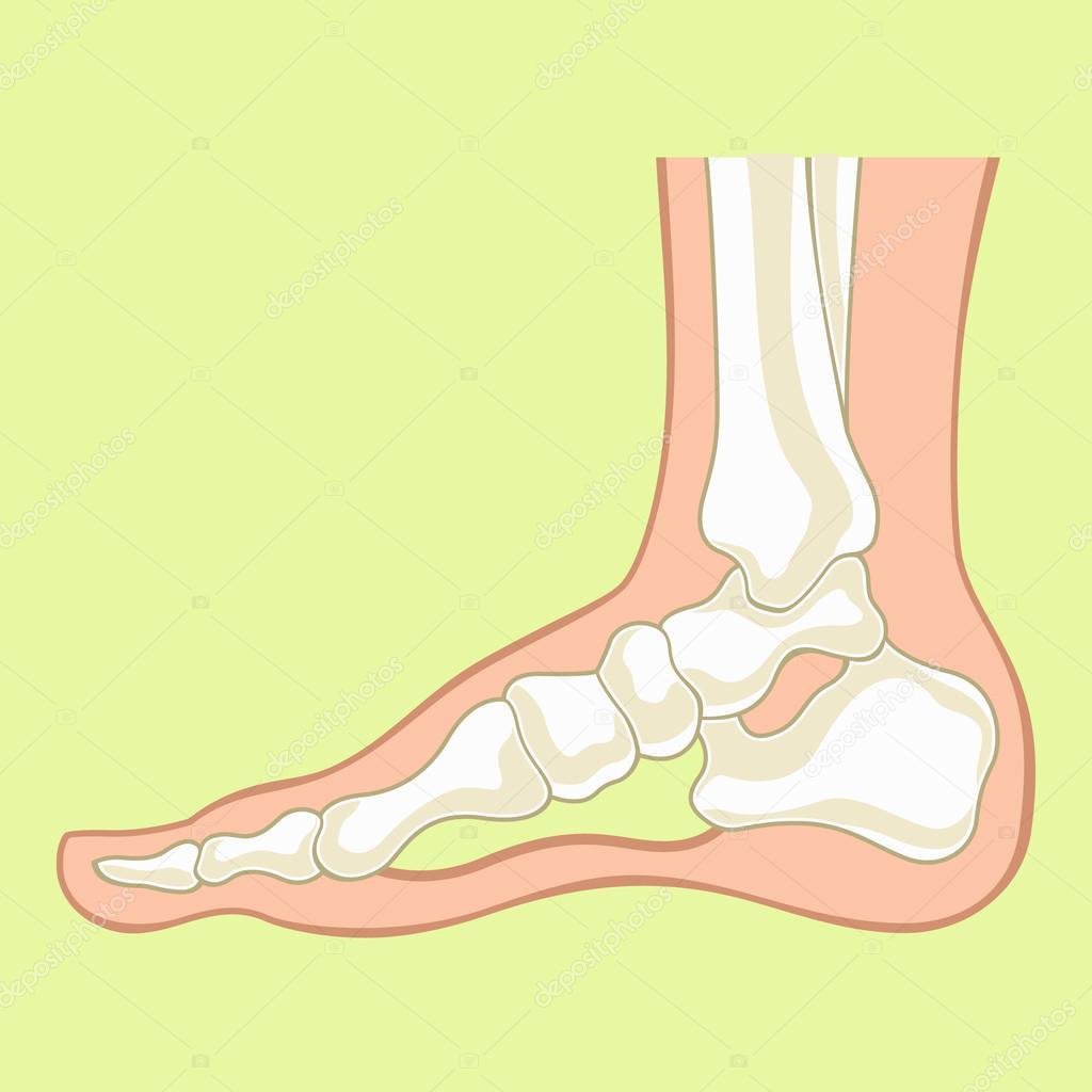 Foot x-ray. Vector flat illustration