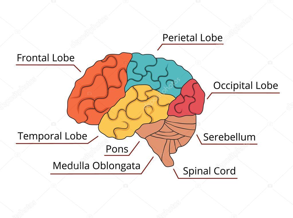 Diagrama de la función del cerebro. Ilustración de vector — Vector ...