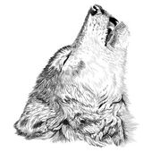 Photo Wolf  howls sketch
