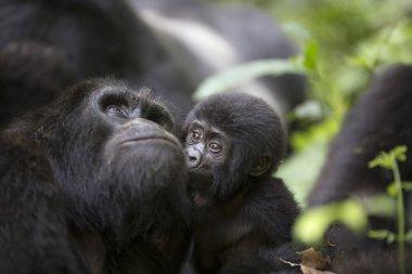Portrait of free roaming mountain gorilla