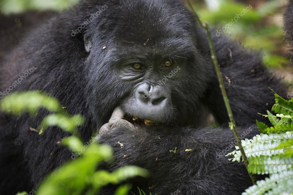 Portrait of free roaming mountain gorilla