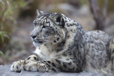 Portrait of adult snow leopard Panthera uncia